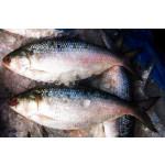 HILSA Fish of Myanmar