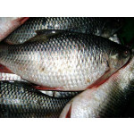 Mirgal Fish from Myanmar