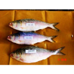 A Frozen Fish Of Hilsa (002/10)  from Myanmar