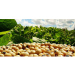 Soya Bean from Myanmar ( 0002 / 909 )