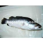 Frozen Sea Bass Fish in Myanmar