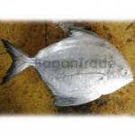 Frozen Black Promfet fish in Myanmar