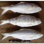 Delicious Hilsa fish from Myanmar