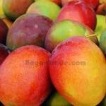 Sweet Taste Keitt Mangoes from Myanmar