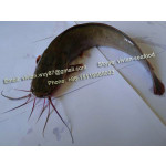 Offer China Frozen Catfish / Barge (Clarias fuscus) for sale