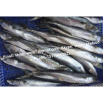 Offer China Frozen Spanish Mackerel (Scomberomorus Niphonius) for sale