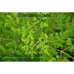 SVM EXPORTS INDIA Moringa Tea Cut Leaf Traders