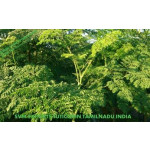 SVM EXPORTS INDIA Moringa Tea Cut Leaf Exporters