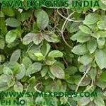 Gymnema Sylvestre Leaves Exporters India