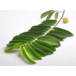 Graviola Leaves Exporters India