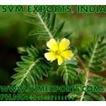 Ocimum Sanctum Leaves Expoters